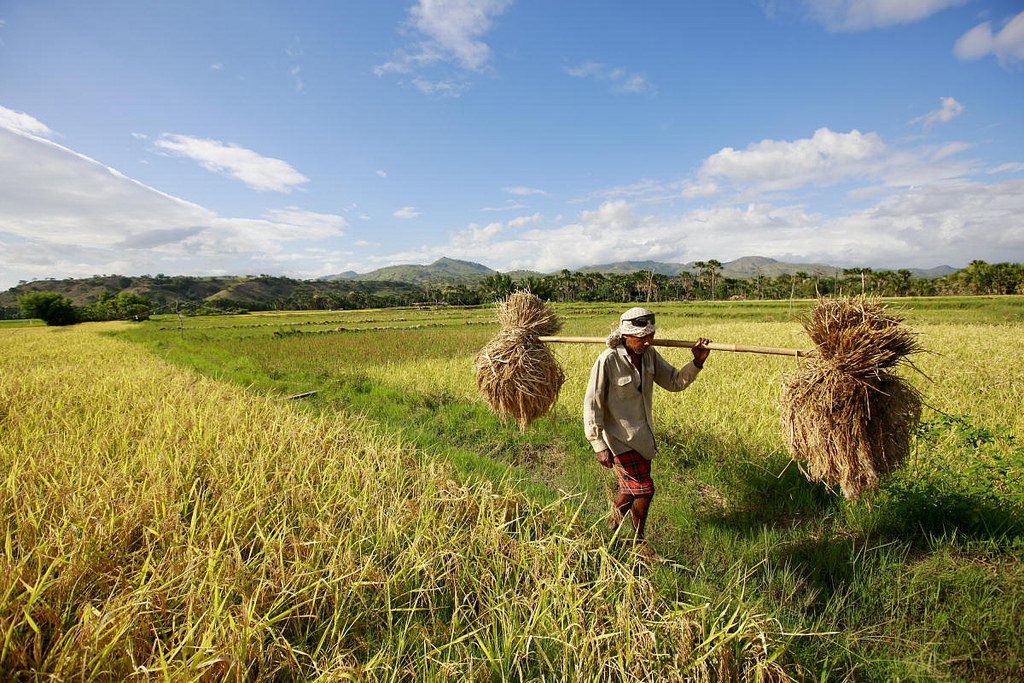 Policy Brief: El Niño and Cereal Production Shortfalls